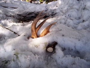 Winter Scouting and Shed Antler Hunting in the Idaho Mountains