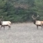 2 michigan bull elk in the pigeon river state forest