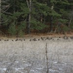 wild turkey flock in the pigeon river state forest