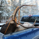 big michigan bull elk in pickup truck