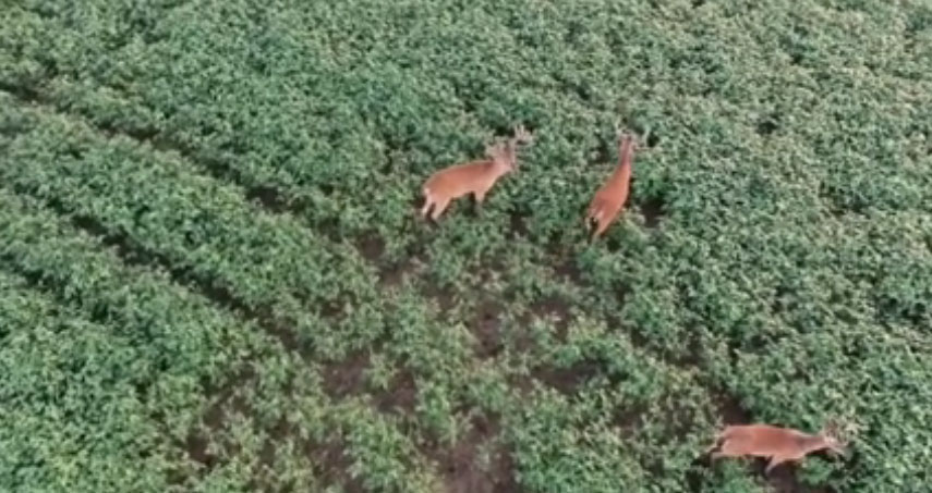 filming bucks with drone