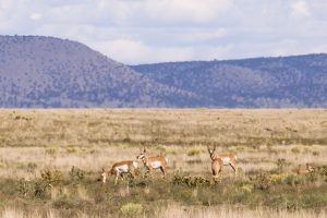 antelope New Mexico