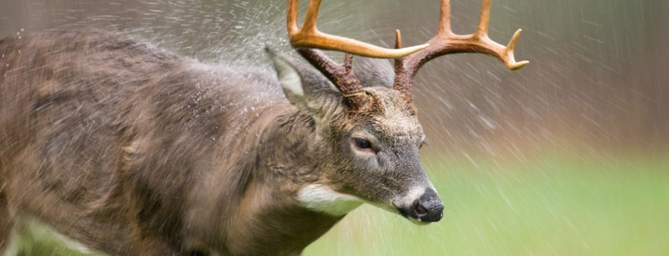 whitetail buck in the rain shaking off the rain
