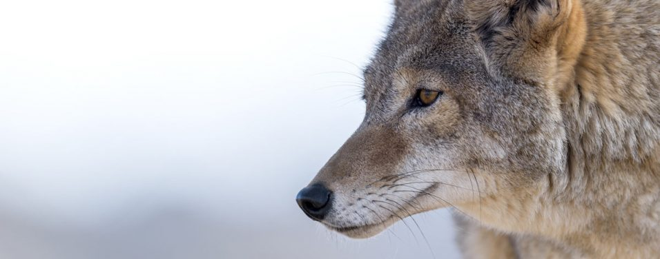 tips for snaring coyotes