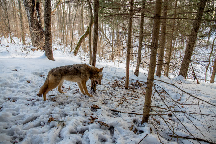 winter predator control - coyote in snare