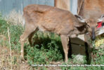 cwd issue in deer - cwd infected deer