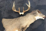 cape and antlers prepped for CWD travel restrictions